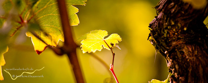 junges Weinblatt neben alter Rebe