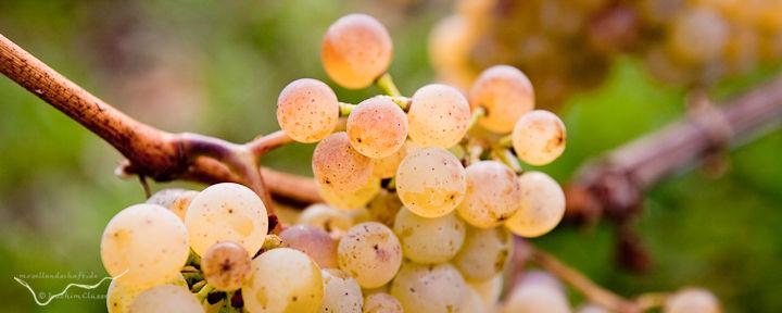 Vollreife Weintraube; die matte Oberfläche der Beeren entsteht durch die Wachsschutzschicht.