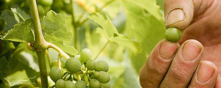 Schutz durch die natürliche Wachsschicht einer Weinbeere