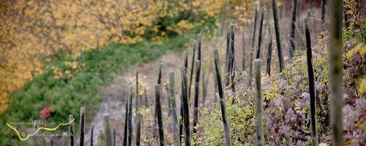Lage Enkircher Batterieberg - alte Weinstöcke im Steilhang
