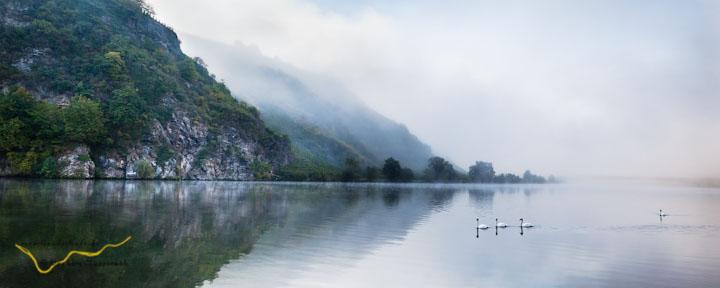 Foto - drei Schwäne schwimmen auf der Mosel im Nebel vor der Mosel-Loreley